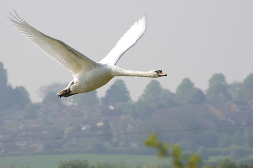 Swan flying high