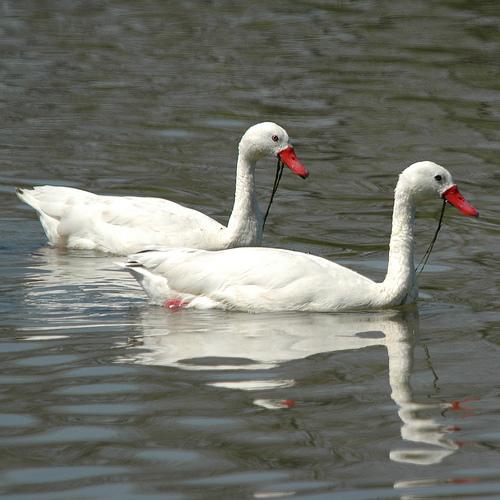 Coscoroba swan lake