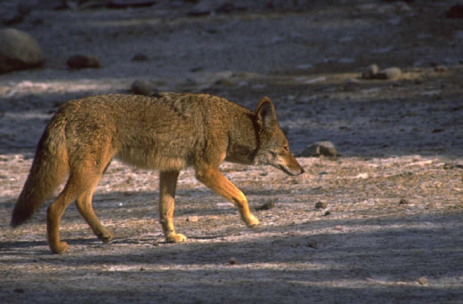 Keep your pets safe from coyotes!
