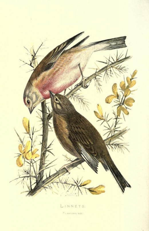 Familiar Wild Birds published 1907-1914}