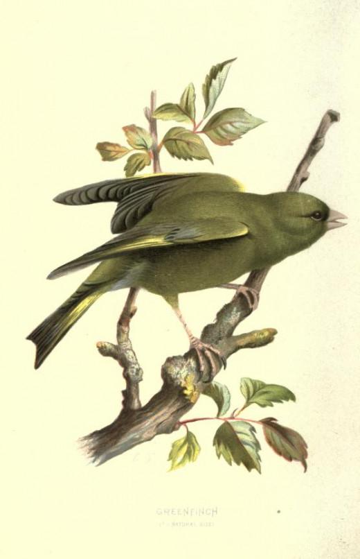 Familiar wild birds {1907-1914 }