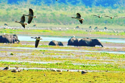 Thousands of elephants and birds cross through Kaziranga during their migration routes.