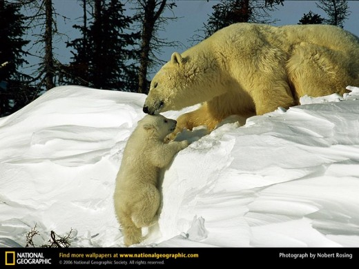 Polar Bear Mom With Cub (from www.nationalgeographic.com)