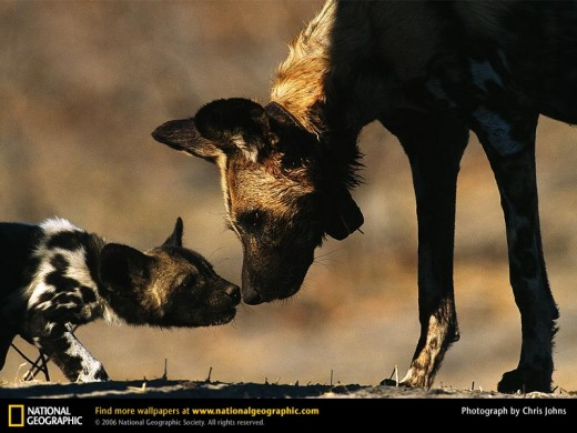 Adult African Wild Dog Greets Pup (from www.nationalgeographic.com)