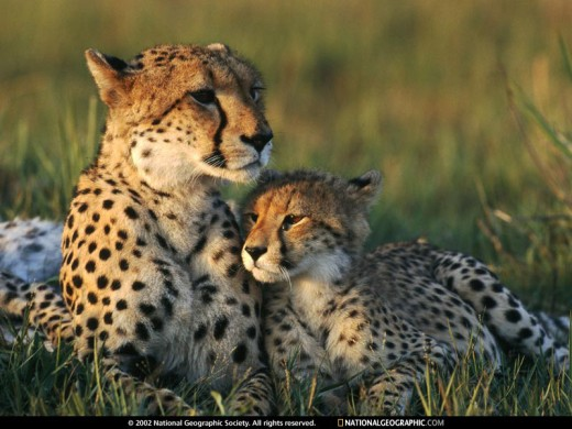 Cheetah Mom and Cub (from www.nationalgeographic.com)