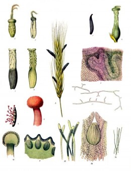 The life cycle of Claviceps porpurea, a famous endophytic fungus.