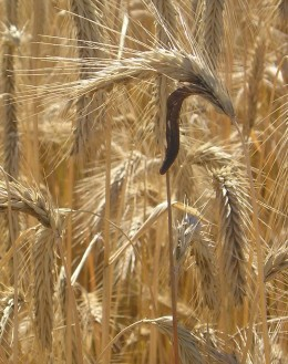 Claviceps purpurea sclerotium (ergot) growing on  barley.