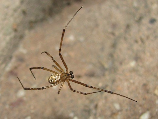 Male Western Widow Spider.  The male is much smaller and lacks the powerful venomous bite of the female.  Despite her reputation, the female widow rarely eats the male after copulation, and the male often gets to mate several times over.