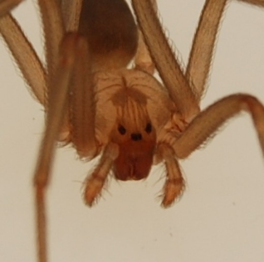 Notice that the Brown Recluse has three pairs of eyes, unlike most spiders, which have four.  Not all recluses possess the distinctive violin markings either, making them more difficult to identify.