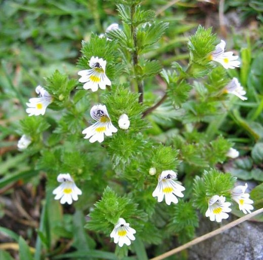 The Herb Eyebright