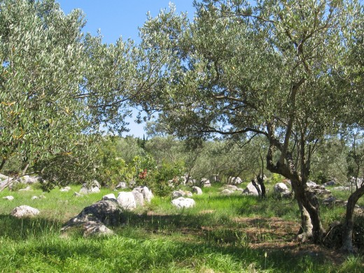 Olive tree on Island Ugljan, Croatia