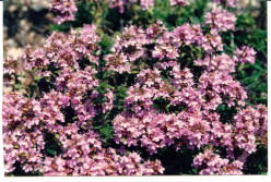 Thyme In Bloom In This Photo