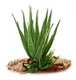 Aloe Vera, a miracle plant