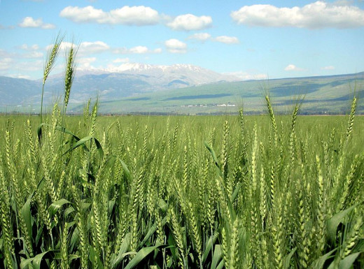 Wheat symbolizes God's abundance. Tithing is the part (10%) of supply that you give back to God.