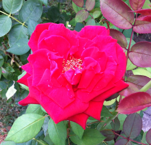 Rose off the Ol' Front Porch