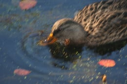 Duck in a pond at the Arnold Arboretum