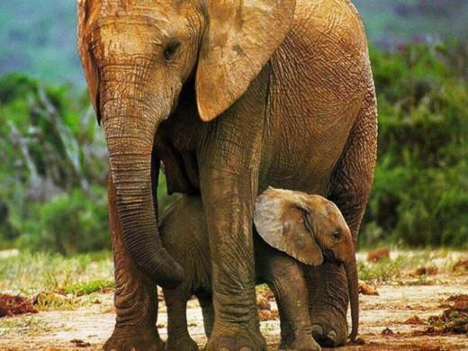 Elephant - one of lifes slow thinkers