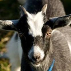 What Burns My Goat XVIIII
