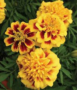 Marigolds contain pyrethrum, a natural insect repellent.