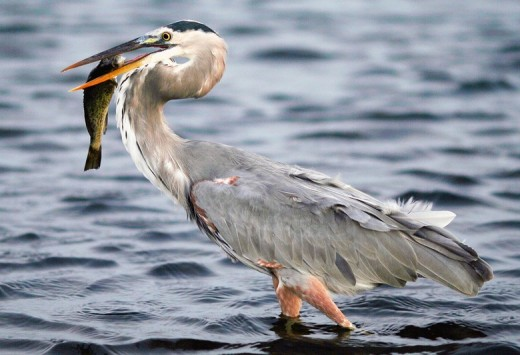 This is North America's largest heron.