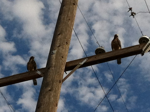 A Couple of Red-Tailed Hawks Watching Over Me