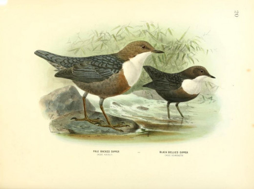History of the birds of Europe {1871-1881} two of the races of the species Cinclus cinclus.