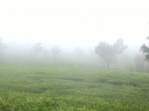 The mist surrounding a Tea Garden