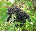 Elderberry for Colds and Influenza