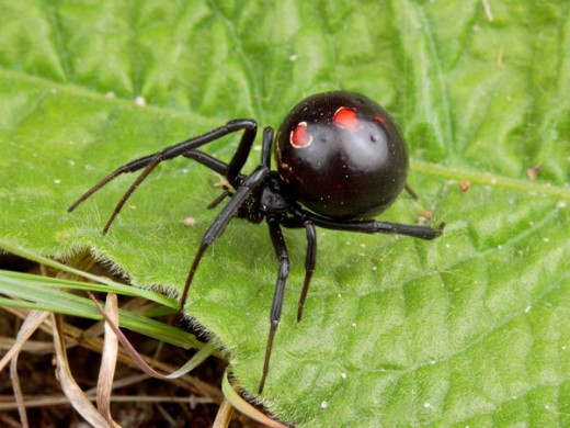 Black Widow Spider, the most dangerous spider in the U.S.
