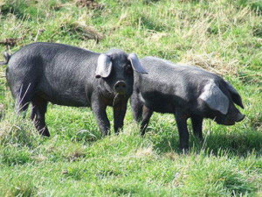 Large Blacks, hogs or swine that would have been around in the early days of Christianity in Britain