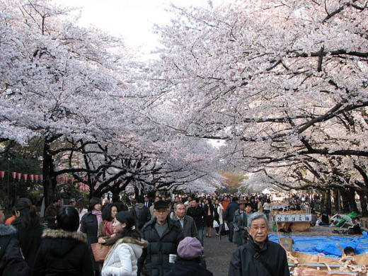 Sakura (cherry blossoms) blooming during early spring in Ueno Park