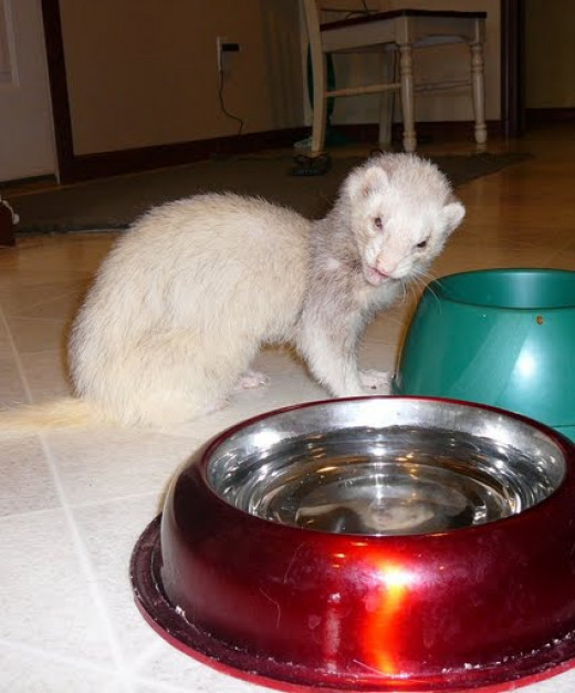 Some animals, like ferrets, can die if they aren't neutered.
