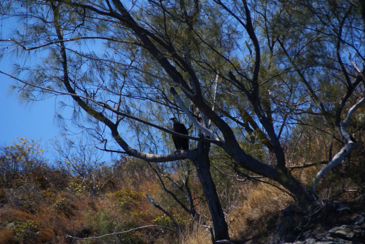 Madagascar Fish Eagle perched in a tree