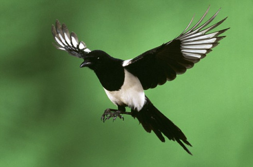 In the UK, some people think these lovely creatures should be culled.  URL: http://www.dailymail.co.uk/sciencetech/article-1369614/The-picture-21-birds-tree-proves-magpie-population-control.html