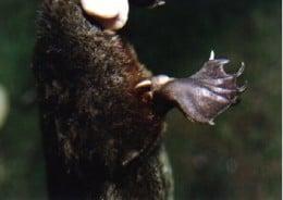Close-up of Platypus Spur or Stinger