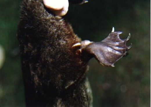 Close-up of Platypus Spur or Stinger