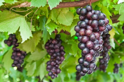 Grapes come in three colors red, black or green