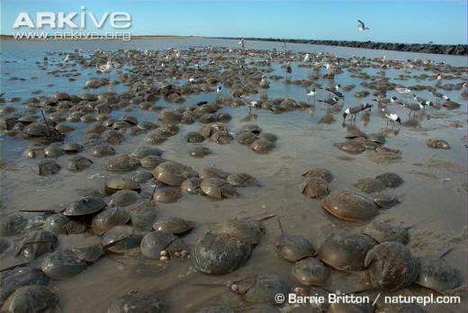 Horseshoe Crabs Spawning