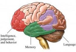 Diagram of brain.