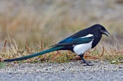 Magnificent Magpies