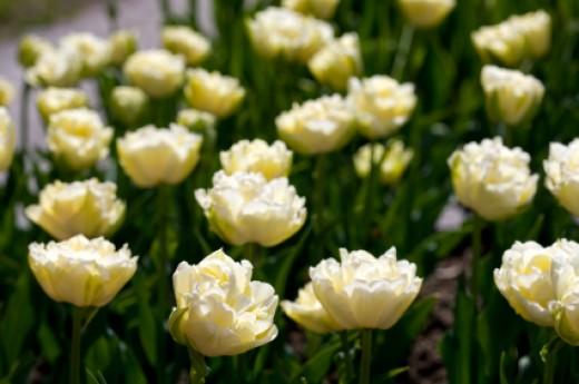 Tulip Verona