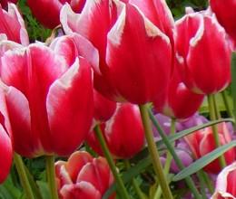 Tulip 'Merry Widow'