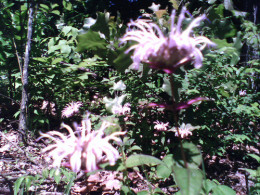 Burgamot also known as bee balm grown in your garden may be part of the answer to saving the honeybee.