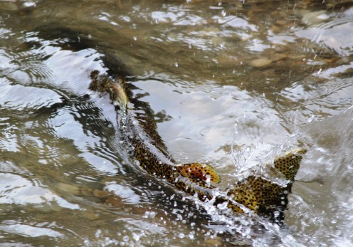 A Salmon on its way to its spawning site in the Duffins creek