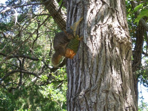 Squirrels are not the only animals that benefit from having trees around. This one is struggling to protect a cone almost bigger than itself.