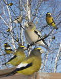 Finch Grosbeaks, Evening & Pine facts & photos