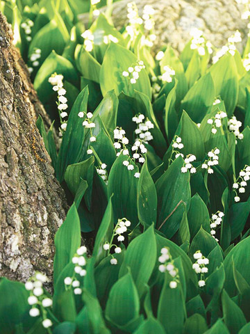 Mama's favorite flower:  Lily of the Valley