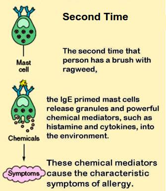 How Allergies develop (Part 2)