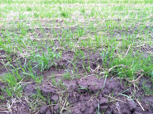 Shoots of Winter Wheat