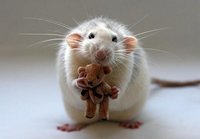 Dumbo eared rat.